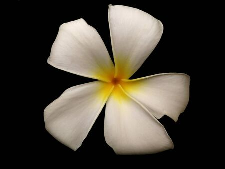 Plumeria flowers isolated black background