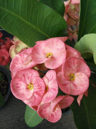 Poi Sian flower in a pot Standard-Bild