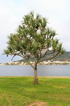 screwpine: Common screwpine (Pandanus utilis) pine monocot tree near water in Brazil