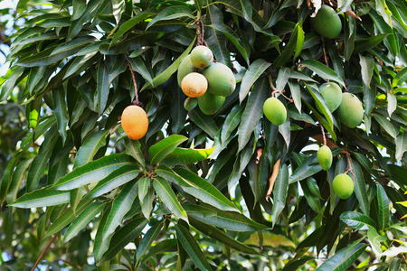 Bunch of green and orange ripe mango on tree in garden. Selective focus