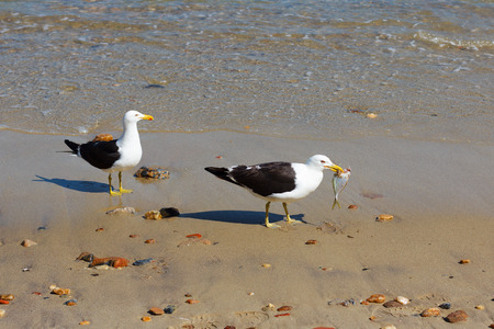 Two seagulls eating fish on beach near sea. Selective focus photo