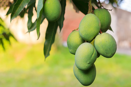 Bunch of green mango on tree in garden. Selective focus Stock Photo