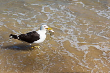 Seagull with fish in the beak, eating on the beach in water, sea. Selective focus photo