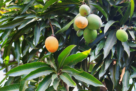Orange ripe and bunch of green  mango on tree in garden. Selective focus