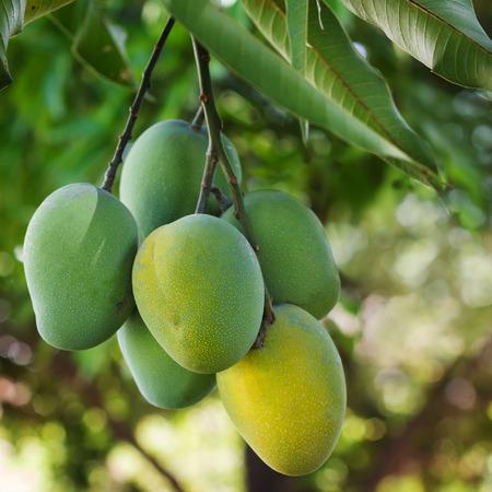 mango fruta: Manojo de mango maduro verde y amarillo en �rbol. Enfoque selectivo