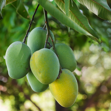 Bunch of green and yellow ripe mango on tree. Selective focus