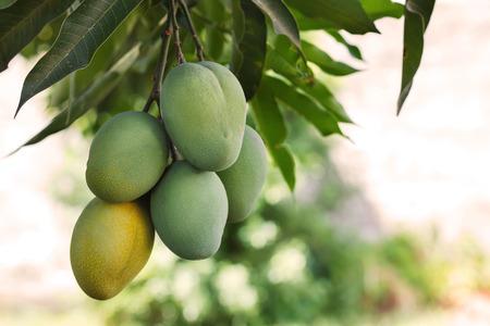 ツリーの緑と熟したマンゴーの束。選択と集中