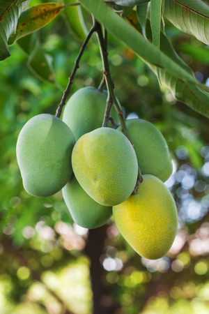 Bunch of green and yellow ripe mango on tree in garden with tree on background. Selective focus