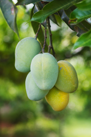 Bunch of green and two yellow ripe mango on tree in garden. Selective focus