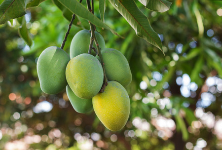 exotic fruits: Bunch of green ripe mango on tree in garden. Selective focus Stock Photo