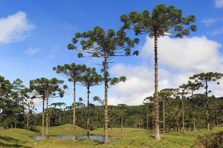tree  pine: Paisaje con Araucaria angustifolia pino brasile�o con el cielo y las nubes de fondo Brasil. Enfoque selectivo