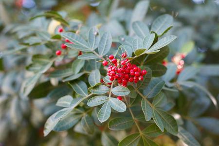 peppertree: Fruits (berry) of Schinus terebinthifolius, Brazilian pepper, aroeira, rose pepper, Christmasberry tree. Selective focus on berry Stock Photo