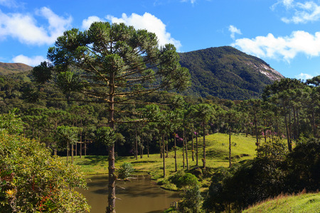 Landscape with upper part of Araucaria angustifolia  Brazilian pine, near lake with mountains, sky and clouds on background, Brazil. Selective focus