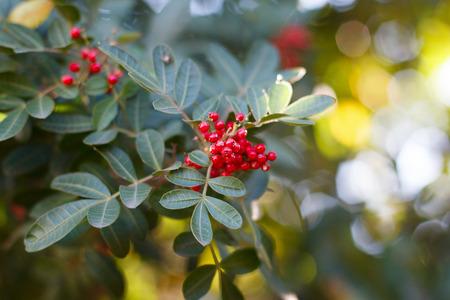 cashew tree: Fruits (berry) of Schinus terebinthifolius, Brazilian pepper, aroeira, rose pepper, Christmasberry tree. Selective focus on berry. Natural lights on background