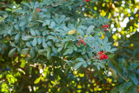 cashew tree: Fruits (berry) of Schinus terebinthifolius, Brazilian pepper, aroeira, rose pepper, Christmasberry tree. Selective focus. Natural light on background