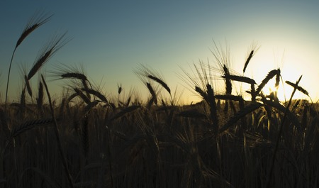 Wheat field at sunrise backlit on a sunny day