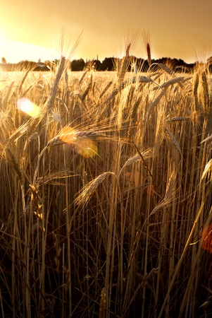 make a paste: Wheat field at sunrise backlit on a sunny day