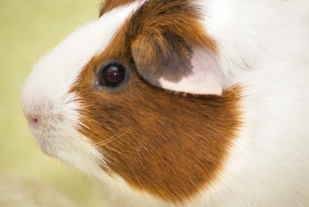 guinea pig: Guinea pig on a green background Stock Photo