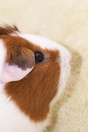 sniffle: Guinea pig on a green background Stock Photo