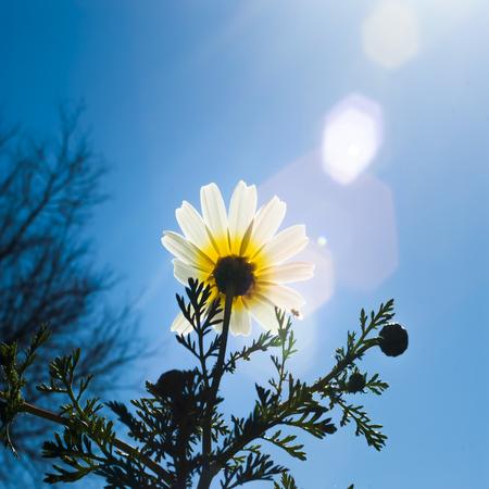 flowers sun: Field of wonderful daisy flowers  with the sun backlighting