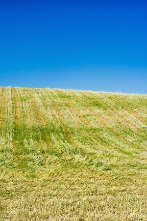Wheat field on a sunny day with a blue sky