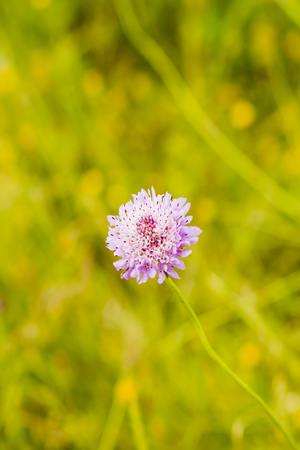 Flower with unfocused wheat field background Archivio Fotografico