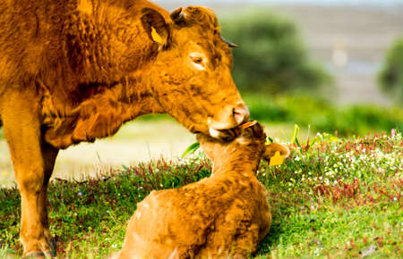 Countryside landscape with beautiful cow taking care of her calf in spring 版權商用圖片