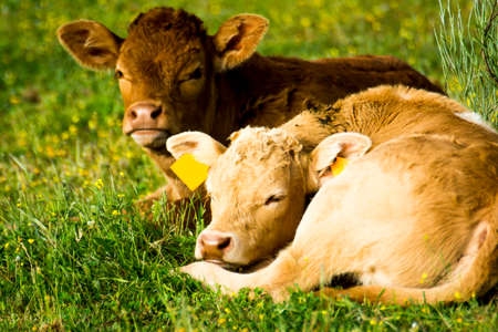 Countryside landscape with beautiful calves in spring