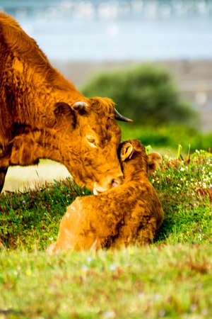 Countryside landscape with beautiful cow taking care of her calf in spring Stock Photo