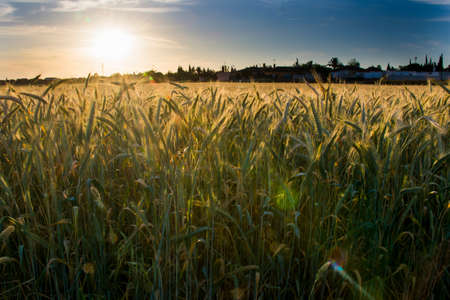 Wheat field at sunrise on a sunny spring day Stock Photo