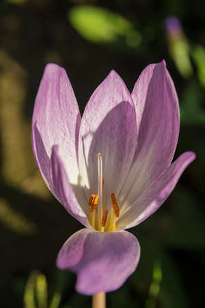 colchicum autumnale: Flower, Meadow saffron, Colchicum autumnale