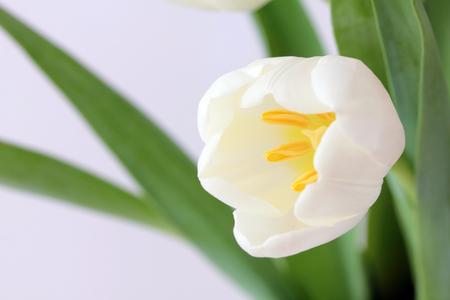 white tulips Stock Photo - 39288095