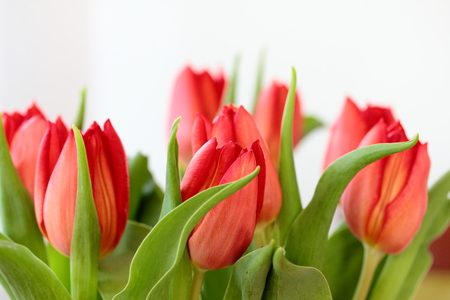 Red tulips Stock Photo - 39288165