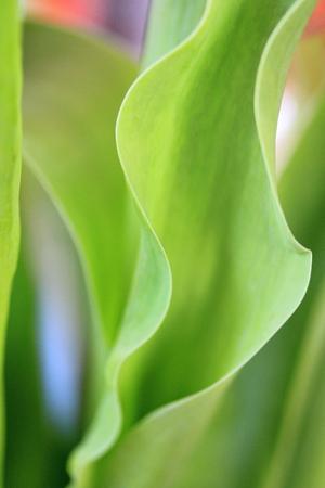 leaf tulip