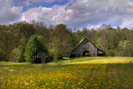 Meadow of yellow flowers with old barn in the distance Banco de Imagens