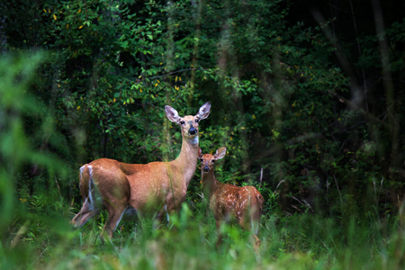 White Tail deer doe and fawn in field by woods