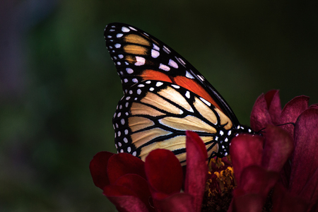 Close up of Monarch butterfly on red flower Banco de Imagens