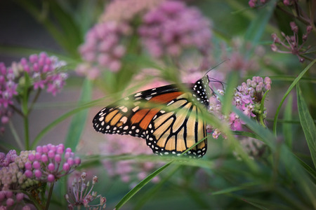 Monarch butterfly and Joe Pye weed