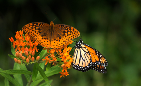 Moanarch butterfly and another butterfly on an orange flower Banco de Imagens