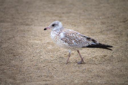 Seagull walking on sand