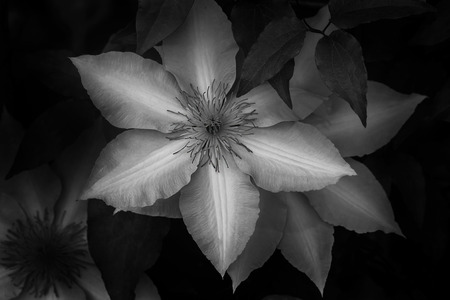 Black and white clematis