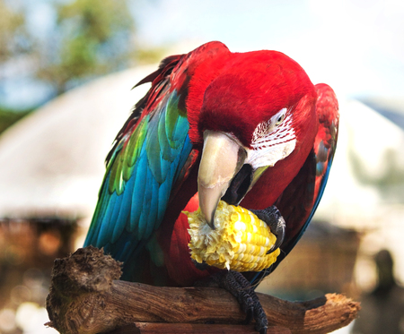 Macaw on perch eating corn on the cob