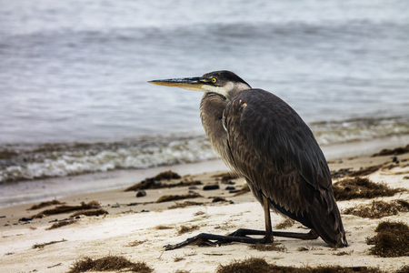 Great Blue Heron resting on beach