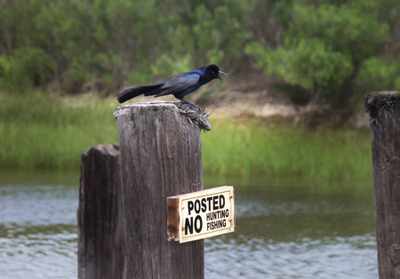 Grackle on no fishin signpost by water