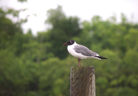 Black headed gull on perch