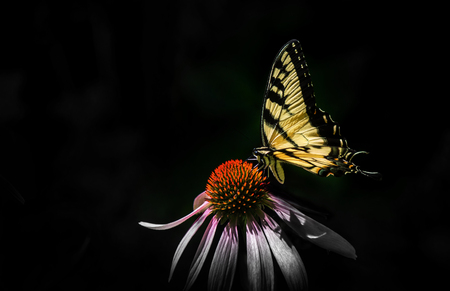 Butterfly on pink cone flower Banco de Imagens