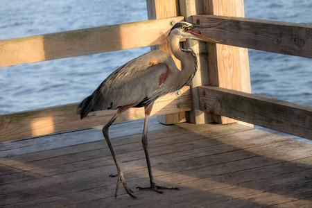 Great Blue Heron on fishing pier