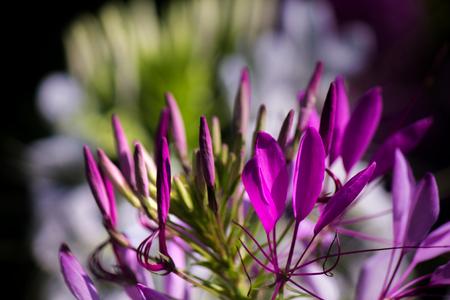Cleome lilac flower