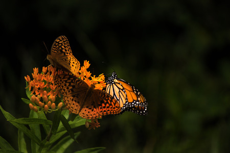 Monarch butterfly and other butterflies on orange flower