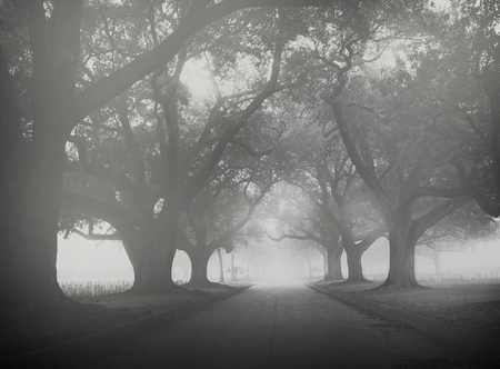 Live oaks in a cemetary south of New Orleans on a foggy morning Banco de Imagens